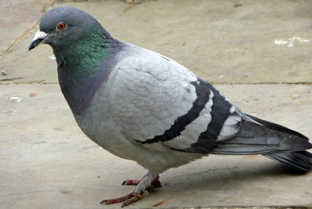 rock_dove_feral_pigeon_columba_livia_-_geograph-org_-uk_-_1309587